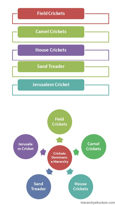Crickets Dominance Hierarchy