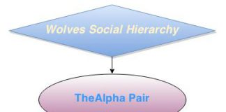 Wolves Social Hierarchy