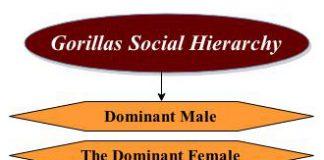 gorillas social hierarchy