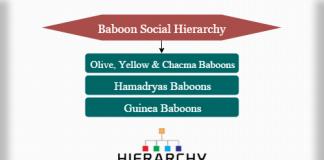 Baboon social hierarchy